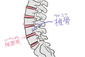 椎間板は、背骨(脊柱)を構成している小さな骨(椎骨)のクッションみたいな役割を果たしている軟骨です。