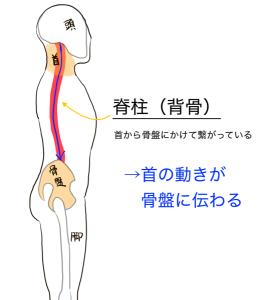 首を動かすと脊柱(背骨)を伝わって骨盤に刺激が加わります。